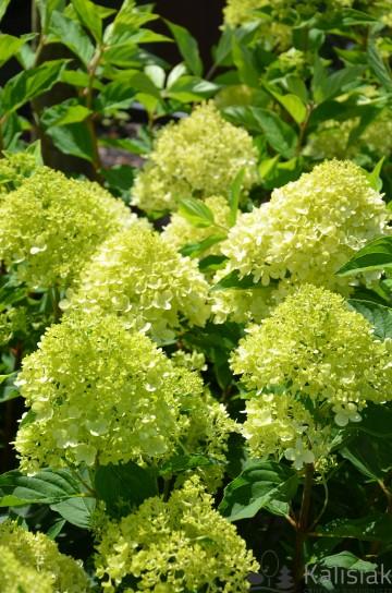 Hydrangea paniculata LIVING COTTON CREAM (Hortensja bukietowa) - C7.5 PA