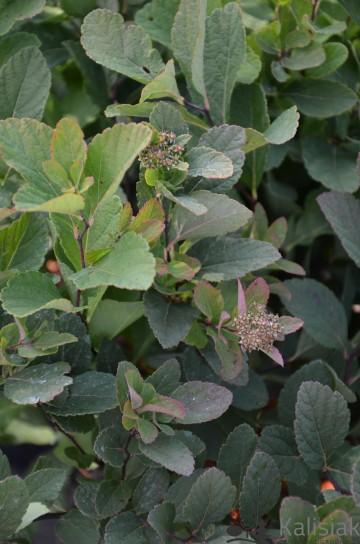 Spiraea betulifolia PINK SPARKLER 'Courispi01' (Tawuła brzozolistna) - C5