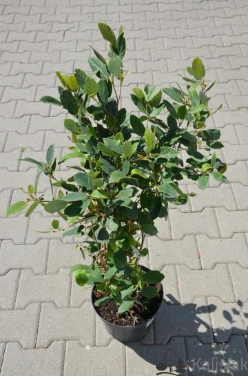 Fothergilla gardenii 'Zundert' (Fotergilla olszolistna) - C2