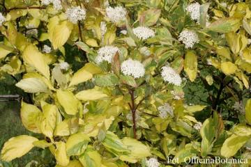 Cornus alba 'Spaethii' (Dereń biały) - C3