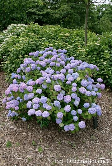 Hydrangea macrophylla 'Nikko Blue' (Hortensja ogrodowa) - C2