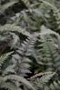Athyrium 'Burgundy Lace' (Wietlica japońska) - C2