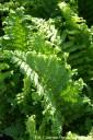 Dryopteris filix-mas 'Crispa Cristata' (Narecznica samcza) - C2