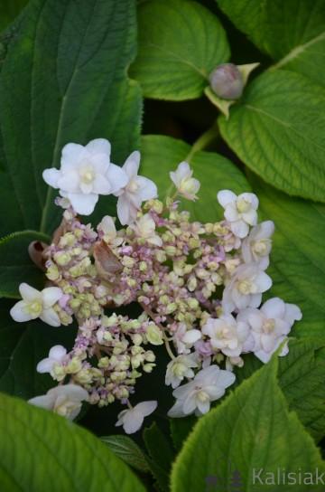 Hydrangea involucrata 'Yoraku Tama' (Hortensja otulona) - C9