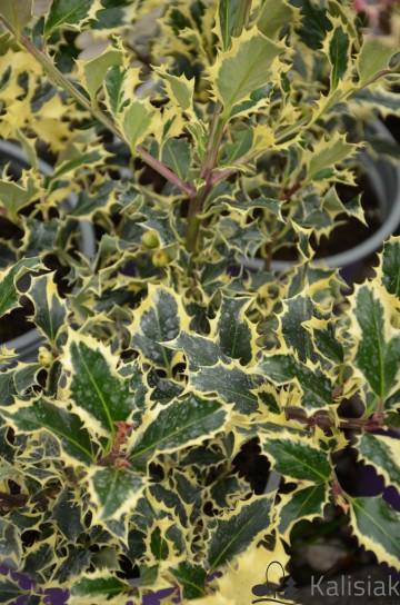 Ilex aquifolium 'Silver Queen' (Ostrokrzew kolczasty) - C2