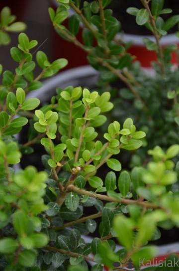 Ilex crenata 'Green Glory' (Ostrokrzew karbowanolistny) - C2