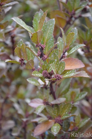 Ilex x meservaeae 'Heckenblau' (Ostrokrzew Meservy) - C2