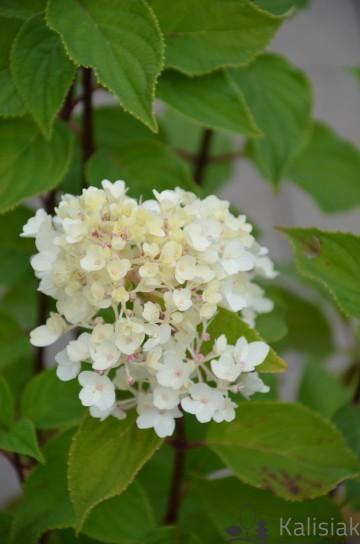 Hydrangea paniculata 'Living Sugar Rush' (Hortensja bukietowa) - C6
