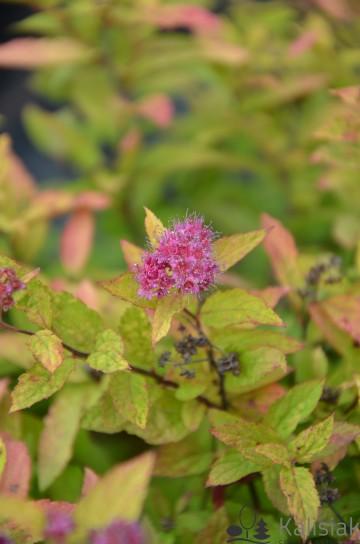 Spiraea japonica LITTLE FLAME 'Minspil04' (Tawuła japońska) - C5