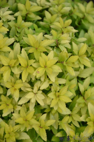 Spiraea japonica ZEN'S SPIRIT GOLD 'Minspiz07' (Tawuła japońska) - C5