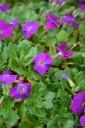 Aubrieta x hybrida 'Axcent Deep Purple' (Żagwin mieszańcowy) - C2