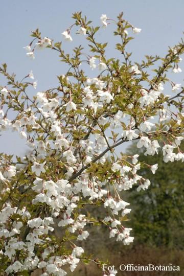 Prunus incisa 'Kojou-no-mai'
