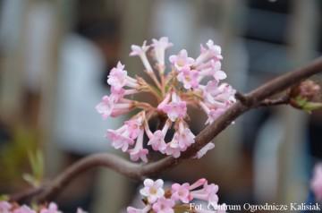 Viburnum bodnantense 'Charles Lamont' (Kalina bodnanteńska) - C3