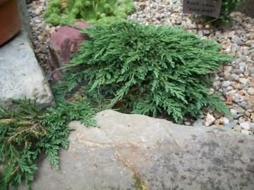 Juniperus horizontalis 'Pancake' (Jałowiec płożący) - P14