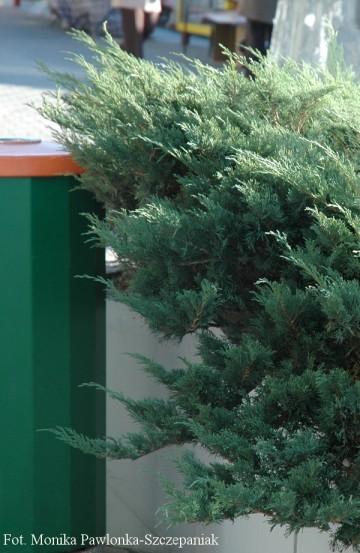 Juniperus sabina 'Glauca' (Jałowiec sabiński) - P14
