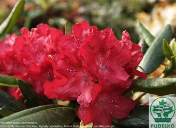 Rhododendron BUSUKI 'Hachbusk'