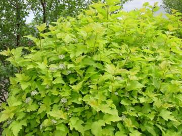 Physocarpus opulifolius 'Nugget' (Pęcherznica kalinolistna) - C3