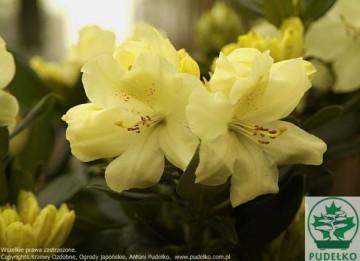 Rhododendron 'Goldbukett' (Różanecznik) - C4