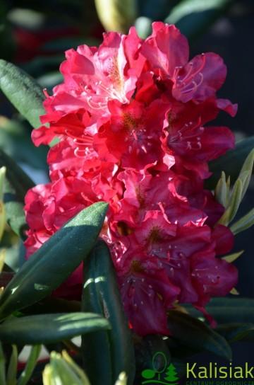 Rhododendron ROYAL SCARLET 'Kazimierz Wielki' (Różanecznik) - C4