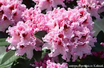 Rhododendron ROYAL BUTTERFLY 'Królowa Jadwiga' (Różanecznik) - C4