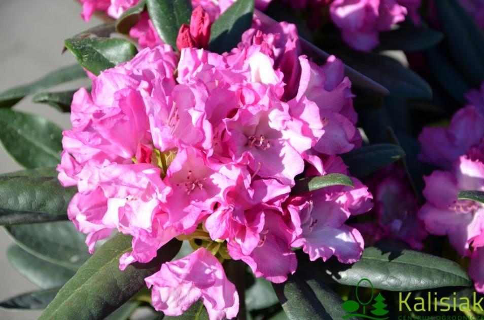 Rhododendron 'Blurettia' (Różanecznik) - C7,5
