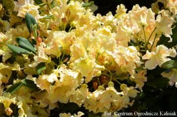 Rhododendron 'Bernstein' (Różanecznik) - C7,5