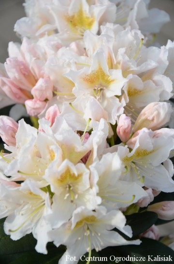 Rhododendron 'Cunningham's White' (Różanecznik) - C4