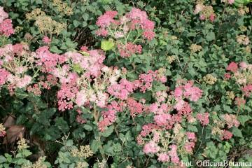 Spiraea japonica 'Bullata' (Tawuła japońska) - C2