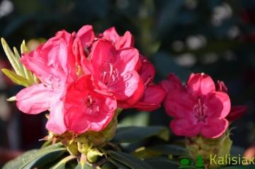 Rhododendron ROYAL RED 'Władysław Jagiełło' (Różanecznik) - C5