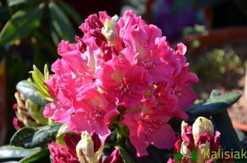 Rhododendron ROYAL AMARANTH 'Jan III Sobieski' (Różanecznik) - C5