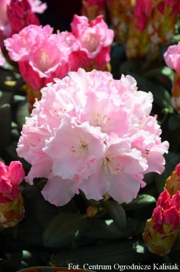 Rhododendron ROYAL ROSY 'Władysław Łokietek' (Różanecznik) - C5