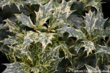 Osmanthus heterophyllus 'Tricolor' (Osmantus różnolistny) - C2