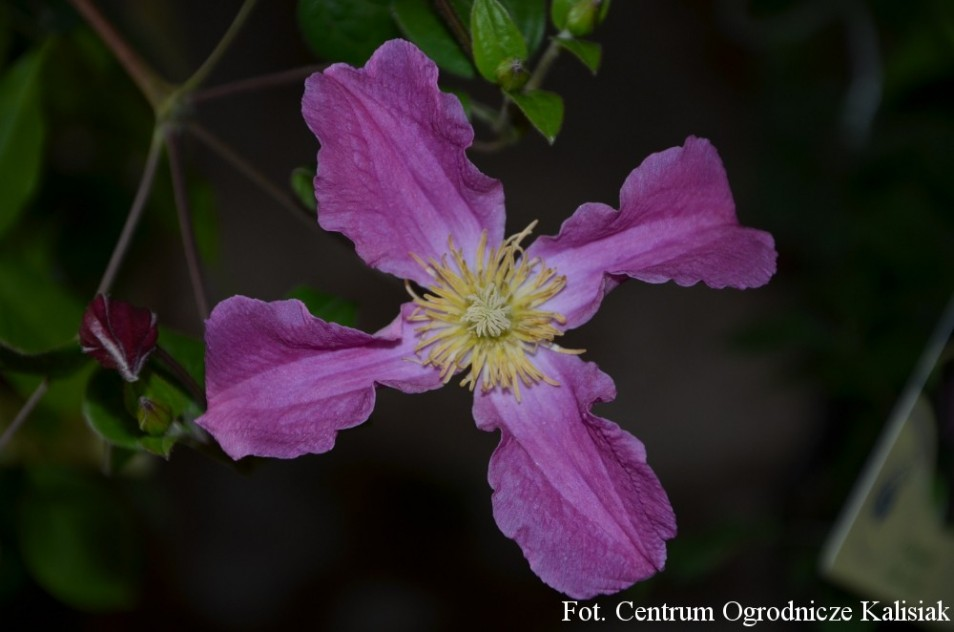 Clematis INSPIRATION 'Zoin'
