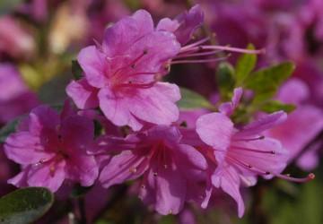 Rhododendron japanese azalea 'Amoenum' (Azalia japońska) - C2