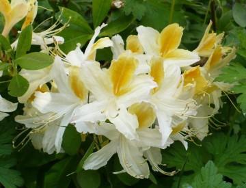 Rhododendron 'Northern Hi-Lights' (Azalia wielkokwiatowa) - C3