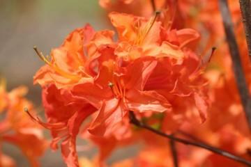 Rhododendron 'Golden Eagle' (Azalia wielkokwiatowa) - C3
