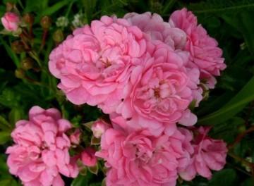 Rosa 'Ashamed Fairy' (Róża okrywowa) - C1,5
