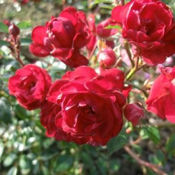 Rosa 'Fairy King' (Róża okrywowa) - C1,5