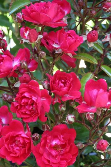 Rosa 'Fairy Queen' (Róża okrywowa) - C1,5