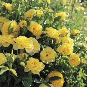 Rosa 'Miniature Yellow' (Róża okrywowa) - C1,5