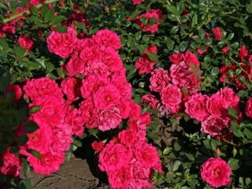 Rosa 'Merkury 2000' (Róża okrywowa) - C1,5