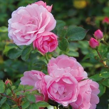 Rosa 'Bonica' (Róża rabatowa) - C1,5