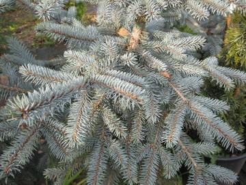 Picea pungens 'Erich Frahm' (Świerk kłujący) - C5
