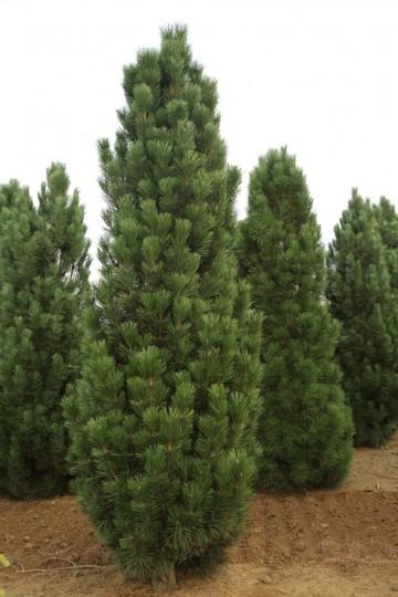 Pinus nigra 'Obelisk' (Sosna czarna) - C5