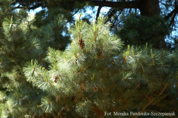 Pinus peuce (Sosna rumelijska) - C5