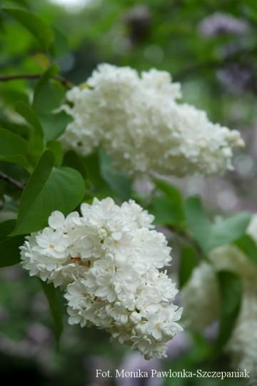 Syringa vulgaris 'Mme Lemoine' (Lilak pospolity) - C3