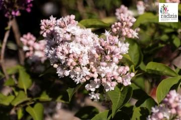 Syringa vulgaris 'Miss Ellen Wilmott' (Lilak pospolity) - C2