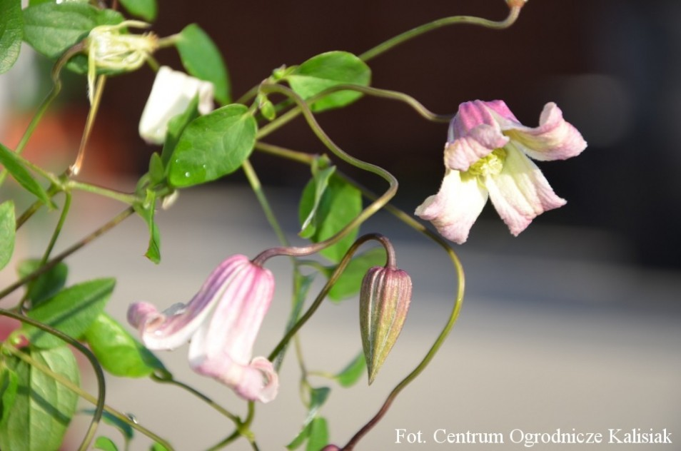 Clematis 'Fay'