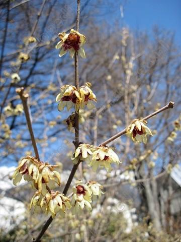 Chimonanthus Praecox (Zimokwiat wczesny) - C5