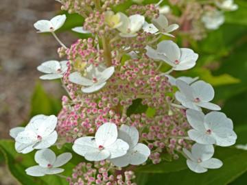 Hydrangea paniculata 'Tender Rose' (Hortensja bukietowa) - C5